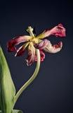 Вянуть тюльпан Стоковые Фотографии RF