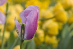 Вянуть тюльпан Стоковые Изображения RF