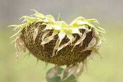 Вянуть цветение солнцецвета вися спад апельсин-золотых листьев унылый, мертвые цветки, обои, органические предпосылки Стоковая Фотография RF