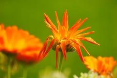 Вянуть цветение цветка стоковая фотография rf