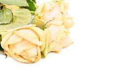 Вялые желтые розы Стоковые Фото