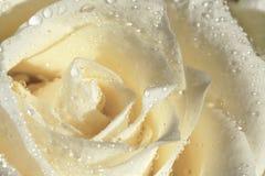 Влажная белая роза Стоковые Изображения