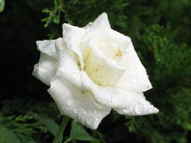 Влажная белая роза Стоковая Фотография