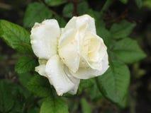 Влажная белая роза Стоковые Изображения RF