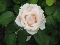 Влажная белая роза Стоковая Фотография RF