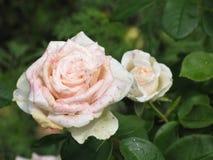 Влажная белая роза Стоковые Фотографии RF
