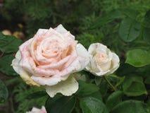 Влажная белая роза Стоковое Изображение