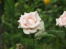 Влажная белая роза Стоковое фото RF
