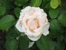 Влажная белая роза Стоковое Фото