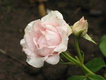 Влажная белая роза Стоковое Изображение RF