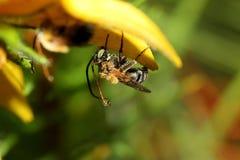 Влажная пчела на лепестке цветка Стоковое Изображение RF
