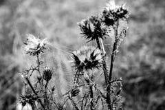Влажная сеть паука, паутина на thistles, селективный фокус Стоковые Фото