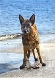 Влажная собака воды стоковые фотографии rf