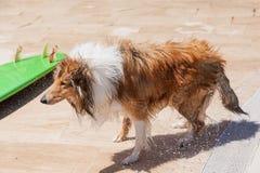 Влажная собака Коллиы тряся с близко surfboard стоковое фото