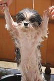 Влажная собака после ванны. Стоковое Изображение