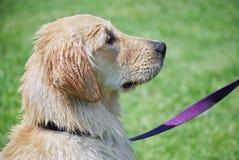 Влажная собака с фиолетовым поводком стоковая фотография