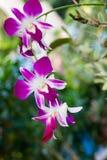 Влажная фиолетовая орхидея - изображение запаса Стоковое Изображение RF