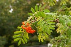 Влажное дерево рябины ветви Стоковая Фотография