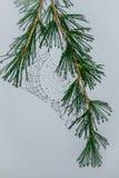 Влажное spiderweb на сосне Стоковое фото RF