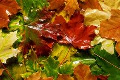 Влажные желтые и красные листья mapple Стоковая Фотография RF