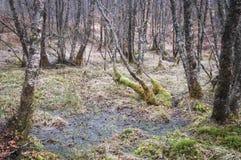 Влажные земля и мох в полесье серебряной березы Стоковая Фотография