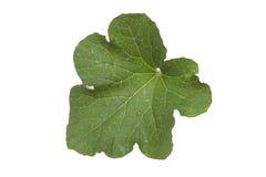Влажные лист огурца Стоковые Изображения