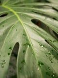 Влажные тропические лист Стоковые Изображения RF