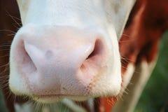 Влажный конец носа коровы вверх Стоковая Фотография