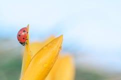 Влажный крокус с Ladybug стоковая фотография rf