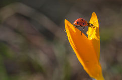 Влажный крокус с Ladybug стоковое фото