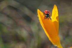 Влажный крокус с Ladybug стоковые изображения rf