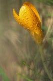 Влажный крокус стоковое фото