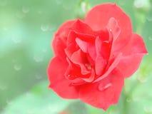 Влажный нежный цветок красной розы с падениями дождя Стоковое Изображение RF