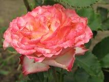 Влажный пинк и белая роза Стоковые Изображения