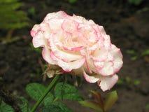 Влажный пинк и белая роза Стоковое фото RF