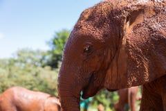 Влажный слон в профиле стоковая фотография rf