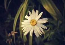 Влажный цветок маргаритки Стоковые Фотографии RF