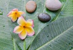 Влажный plumeria и камень на зеленой предпосылке лист Концепция для курорта Стоковое Изображение
