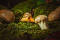 Влажный puffball гриба растет на зеленом мхе Стоковое фото RF