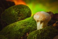 Влажный puffball гриба растет на зеленом мхе Стоковые Фото