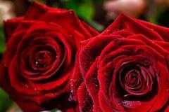 2 влажных бутона красной розы закрывают вверх Стоковая Фотография RF