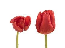 2 влажных красных тюльпана на чистой белой предпосылке Стоковые Фотографии RF