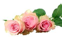 3 влажных розовых розы Стоковые Изображения RF