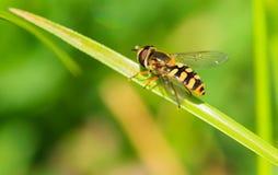 Владение пчелы на зеленых лист Стоковая Фотография RF