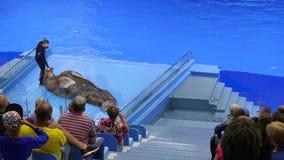 Владивосток, Россия - 28-ое июля 2017: Люди наблюдают представление в Dolphinarium Представление моржа на этапе видеоматериал