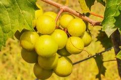 В винограднике - зеленых виноградинах на лозе с листьями и запачканной предпосылкой стоковое изображение