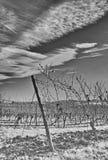 В винограднике Стоковое Изображение RF