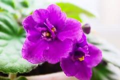 В горшке африканский фиолет Стоковая Фотография