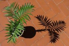 В горшке ладонь при своя тень запроектированная на том основании Стоковая Фотография