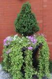 В горшке вечнозелёное растение Стоковое Изображение RF